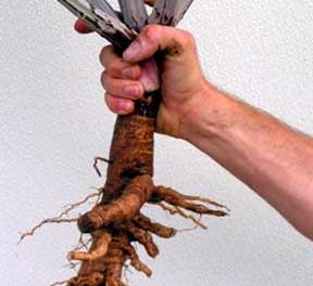 корень лопуха для роста волос маска