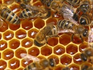 Пчелиный подмор похудение