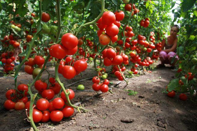 Как-выращивать-помидоры