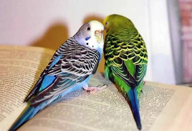Волнистый-попугайчик