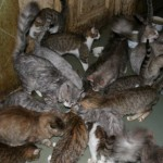 В каком возрасте можно стерилизовать кошку?