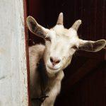 Какую кличку дать козе?